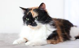Gatto variopinto nella stanza bianca Fotografie Stock Libere da Diritti