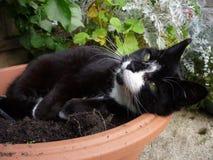 Gatto in vaso di fiore Immagini Stock Libere da Diritti