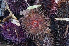 gatunki denny czesak, purpurowy denny czesak Obrazy Stock
