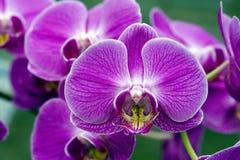 Gatunki Orchidaceae Zdjęcia Stock