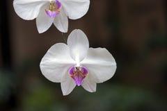 Gatunki Orchidaceae jeden wielkie botaniczne rodziny Zdjęcia Stock