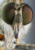 gatunku tolmerus zdjęcie royalty free