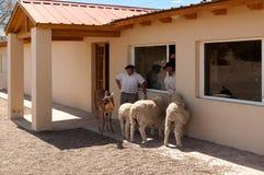 Gaucho, cowboy argentino, con gli animali sull'azienda agricola Immagine Stock