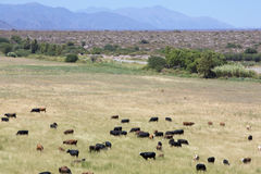 Gaucho herding cows grazing near Cafayate in North West Argentin Stock Photography