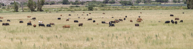Gaucho herding cows grazing near Cafayate in North West Argentin Royalty Free Stock Images