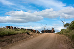 Gaucho herding cows near windmills in Uruguay Stock Photography