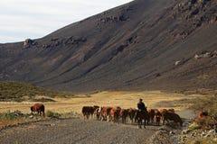 Gauczowie i stado krowy w Argentyna fotografia royalty free