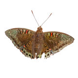 Gaudy Baron Male Butterfly isolated Stock Photos