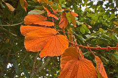 Gaudy color of wild vine leaves on the tree Stock Photo