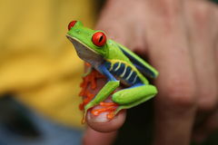 Gaudy Leaf Frog Royalty Free Stock Photography