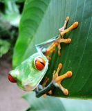Gaudy Leaf Frog. Frog in the jungles of Costa Rica Stock Photography