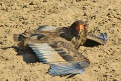 Gaukler - wilder Vogel-Hintergrund von Afrika - falsch herum ein Sonnenbad nehmend Stockbild