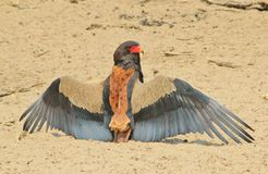 Gaukler - wilder Vogel-Hintergrund von Afrika - ikonenhafte Schönheit von verbreiteten Flügeln Lizenzfreie Stockfotos