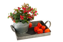 Gaultheria in autumn Stock Photo