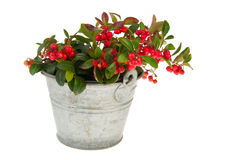 Gaultheria in bucket Stock Photos