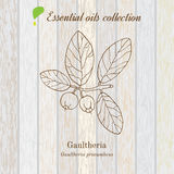 Gaultheria, essential oil label, aromatic plant Stock Photo