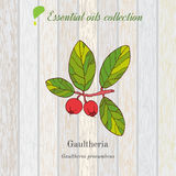 Gaultheria, essential oil label, aromatic plant Royalty Free Stock Photography