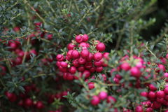 Gaultheria Mucronata Stock Photography