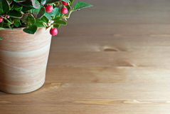 Gaultheria plant. In pot on wooden table Royalty Free Stock Photos