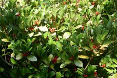 Free Gaultheria Procumbens With Red Berries. Royalty Free Stock Photo - 164093345