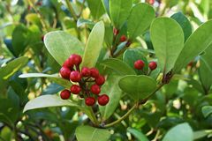 Free Gaultheria Procumbens With Red Berries. Stock Photos - 164093393