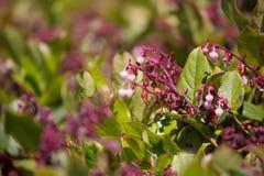 Gaultheria shallon - Salal Fotografia Royalty Free