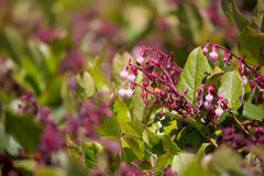 Gaultheriashallon - Salal Royaltyfri Fotografi