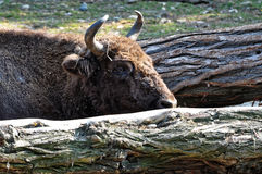 Gaur站立在森林之间 免版税图库摄影