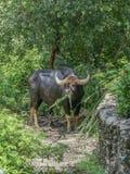 Gaur är den mest bigest bisonen Arkivfoto