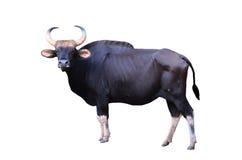 Gaur που απομονώνεται Στοκ Εικόνα