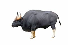 gaur Zdjęcie Royalty Free