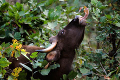 Gaur Stock Photography
