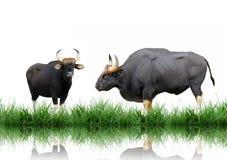 Gaur Royalty Free Stock Photo