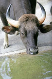 Gaur 3. View of gaur bull at watering pond Stock Photography