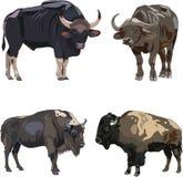 Gaur, African、 European and American bison stock illustration