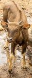 Gaur baby (Bos gaurus) Stock Images