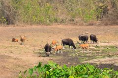 Gaur and Banteng in saltlick at Huai Kha Khaeng wildlife sanctuary, Thailand Stock Photo