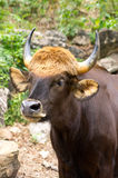 Gaur Royalty Free Stock Photos