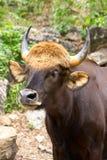 Gaur Royalty Free Stock Photos