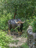 Gaur Stock Photo