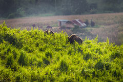 Gaur  (Bos gaurus laosiensis) Stock Photo