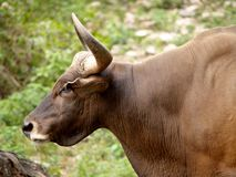 Gaur / bull 05 Royalty Free Stock Photo