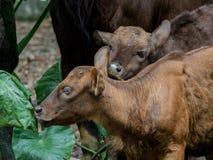 Gaur calfs Στοκ Φωτογραφίες