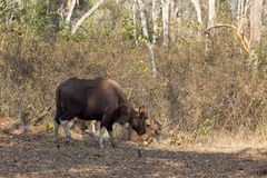 Gaur with calves Stock Photo