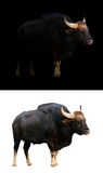 Gaur in the dark and white background Stock Photography