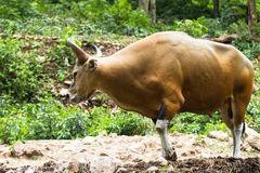 Gaur Royalty Free Stock Photography