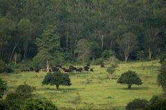 Gaur (gaurus быка) и Banteng (javanicus быка) на нации Kui Buri Стоковые Изображения