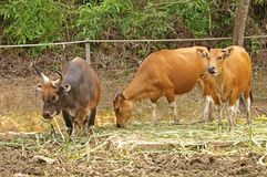 Gaur, Indian Bison family. An Indian bison bull and two cows eating at wildlife park Royalty Free Stock Photo