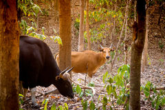 Gaur or Indian bison in the forest Royalty Free Stock Image