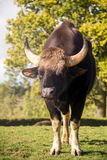 Gaur or indian bison Royalty Free Stock Photo